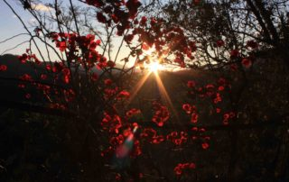A photograph of the setting sun shining through red-pink flowers and dark branches.