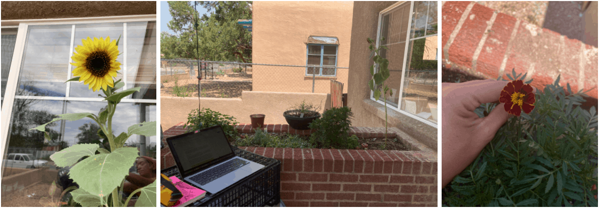 Pictures of our herb garden. Left to right: a sunflower, my work from home setup, a marigold.